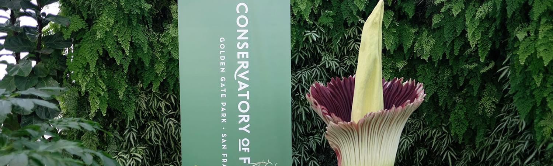 Corpse Flower Bloom