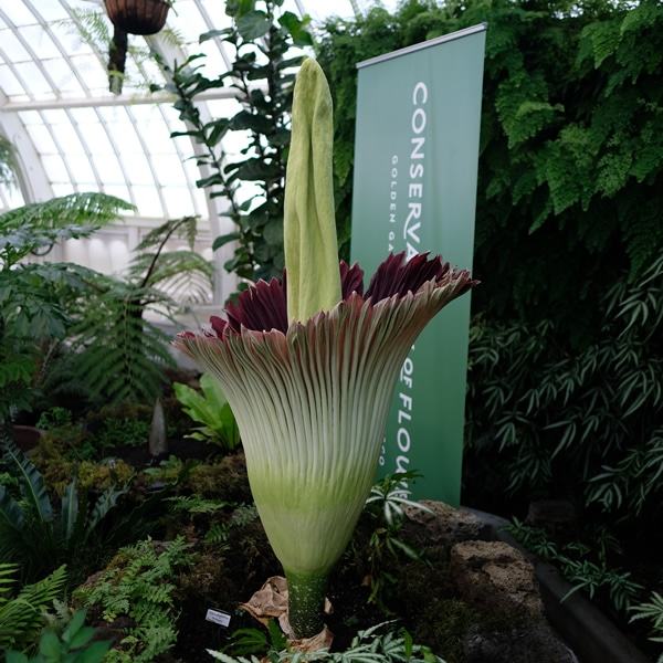Amorphophallus titanum | Conservatory Of Flowers